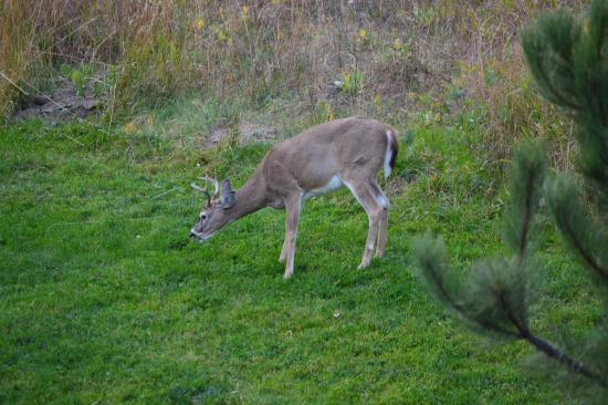 Holiday Inn Express Custer: Deer