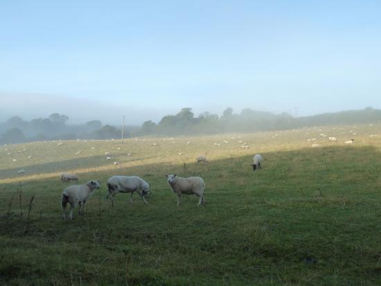 The Black Swan: The sheep opposite