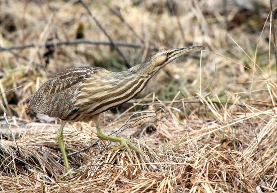 Quincy Bog Natural Area: American Bittern