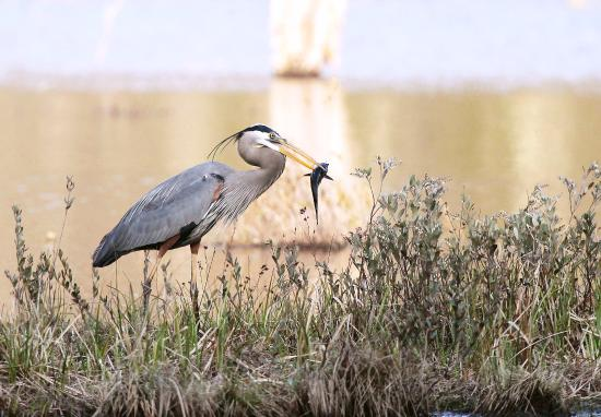 Quincy Bog Natural Area: Great Blue heron