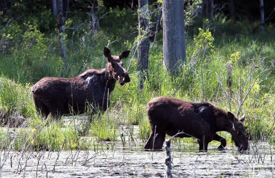 Quincy Bog Natural Area: Moose