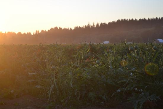 Tillamook, Oregón: sunset on the artichokes