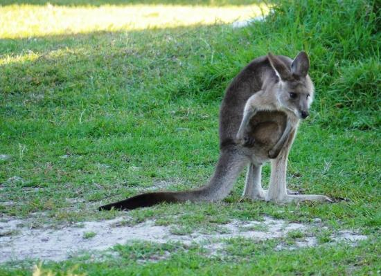 Noosa North Shore Beach Campground : Kangaroo seen in campsite