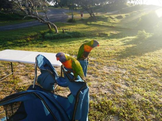 Noosa North Shore Beach Campground : Lorikeets keen to join us for breakfast