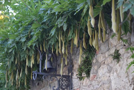 Ricavo, Italia: splendid wisteria seed pods on the main house walls