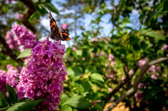 a4e428bbed68 Centennial lilac garden Niagara butterfly - Picture of Centennial ...