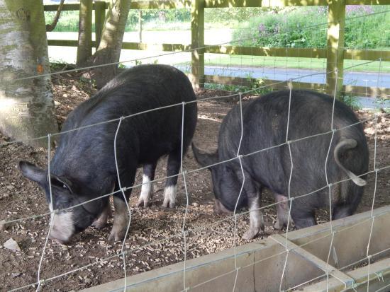 Wykeham, UK: Pigs