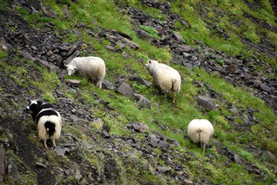 Hallormsstadur, ไอซ์แลนด์: Sheep