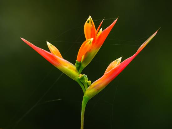One of many types of Heliconia in The Kebun garden.