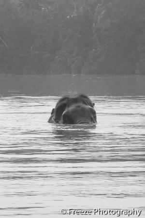 Borneo Nature Lodge: Kinabatangan, Sabah, Malaysia - Pigmy Elephant