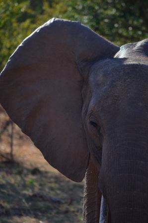Bumi Hills Safari Lodge & Spa: one of the many elephants we saw