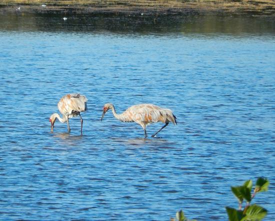 Seney, MI: Sandhill Cranes