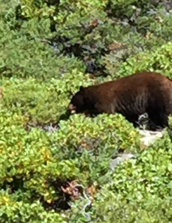 South Lake Tahoe, CA: Bear we saw from the parking lot
