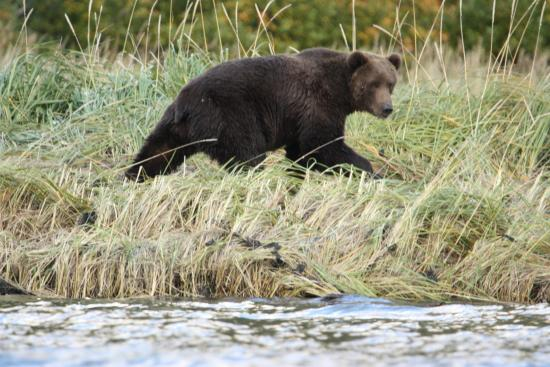 Munsey's Bear Camp: Bear on seashore
