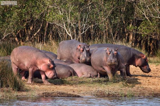 Bonana Tours & Transfers: Hippos at St Lucia