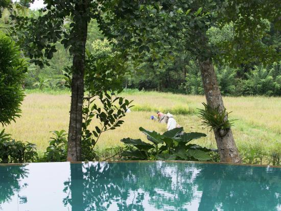 The Garden House: The view over our pool of the rice harvesting