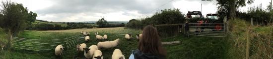 Llanllwni, UK: Feeding sheep at Cwmiar