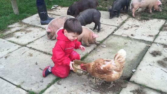 Llanllwni, UK: Feeding Chickens at Cwmiar