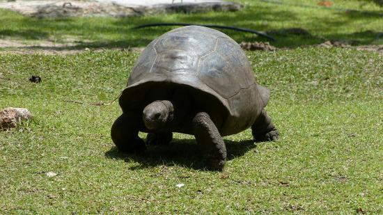 Остров Праслен, Сейшельские острова: grosse tortue
