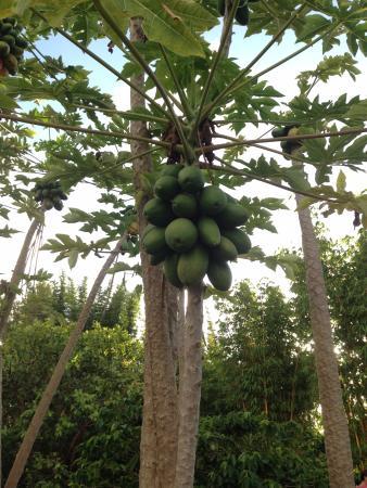 Kilauea, Гавайи: Trees