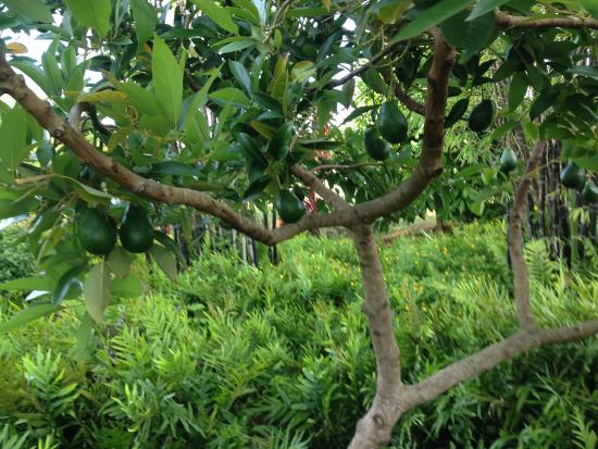 Kilauea, Гавайи: Avocado trees