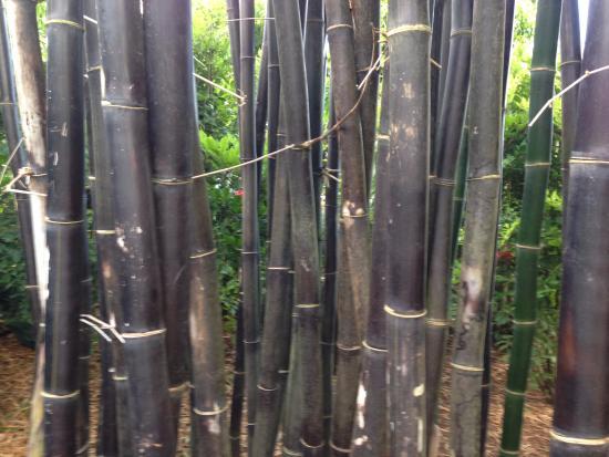 Kilauea, Hawaï: Several types of bamboo to check out