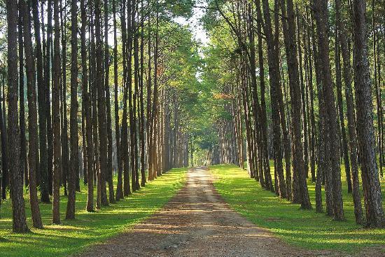Charmant Bo Kaeo Pine Tree Garden: ต้นสนเรียงราย