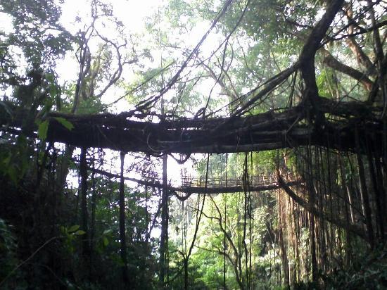 Living root bridges at Mawkyrnot village,about 5-6 bridges ...