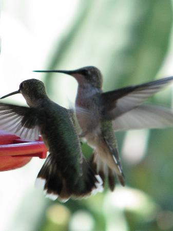 Mountain Valley Lodge & RV Park: Summer Hummers