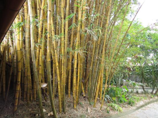 Alajuela, Costa Rica: Bamboo stand