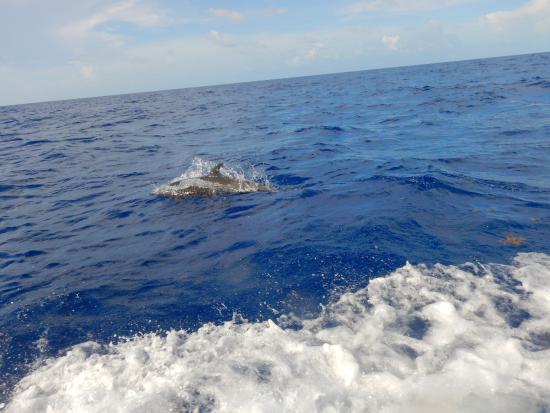 Chinchorro Reef: Delfín.