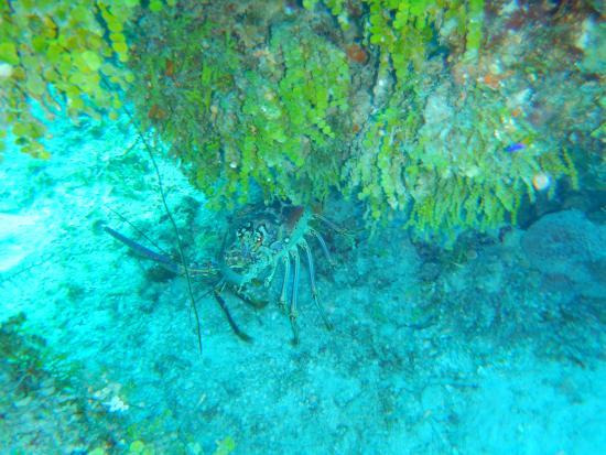 Chinchorro Reef: Langosta.