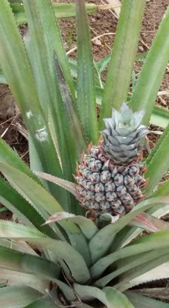 Pineapple at plantation - Picture of Sri Lanka by Car Day ...