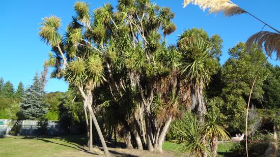 Anchorage Motel Apartments: Cabbage trees in Bird Park
