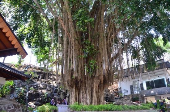 Ratu Boko Temple: 入口にある大きなガジュマルの木