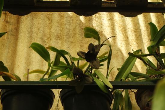 schwarze orchidee bild von pregetter 39 s orchid garden temporarily closed funchal tripadvisor. Black Bedroom Furniture Sets. Home Design Ideas