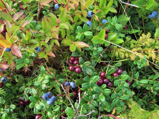 Harbourview Bed & Breakfast: Amazing wild berries!
