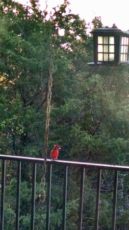 Whispering Hills Cabins: Red bird on the patio Country Blue