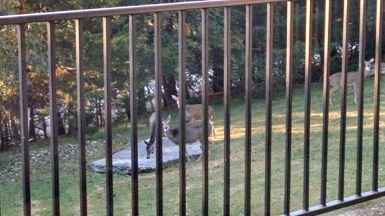 Whispering Hills Cabins: Deer from the patio of Country Blue
