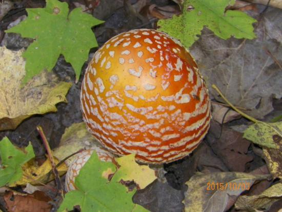 Rib Mountain State Park: Bright mushroom