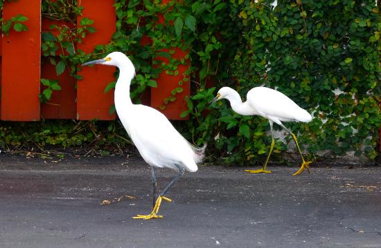 Ocean's Seafoods: Egrets in the parking lot