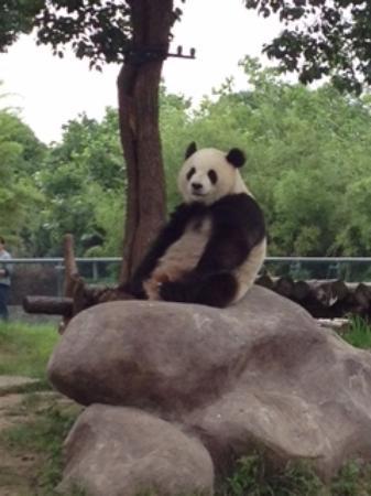 Ningbo Zoo : パンダ
