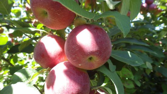 Bellinger's Orchard