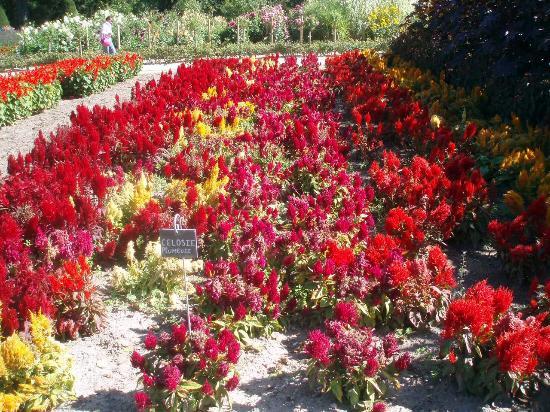 Château de Chenonceau : Potager des fleurs Célosies