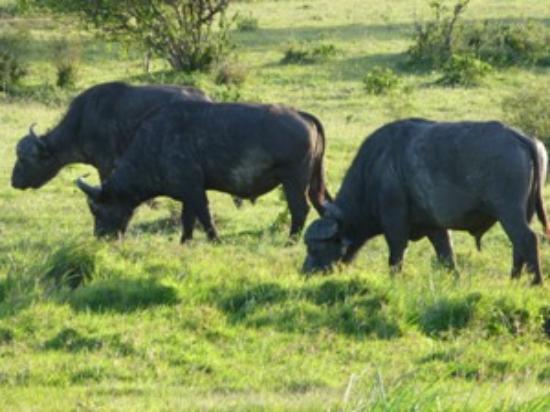 Mount Elgon National Park: Africa Buffalo in Mt Elgon