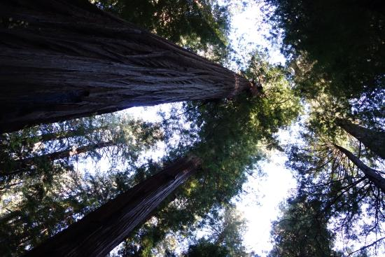Orick, Kalifornien: Giant redwoods over 250 feet tall tower over the trails, creating a living cathedral