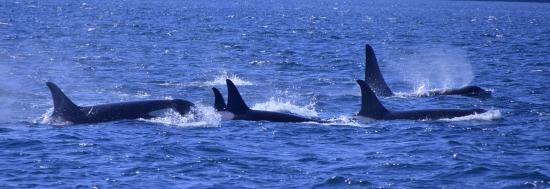 Orcas Island Eclipse Charters : Puget Sound Orcas with Eclipse Charters