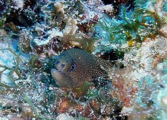 Liquid Blue Divers: Small Golden Eel pointed out by Kami Michels