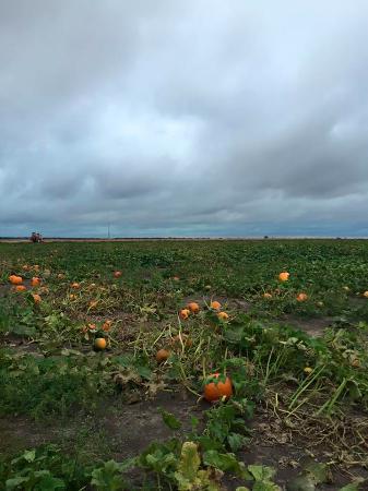 Pumpkin Patches Corn Mazes near Minooka, IL