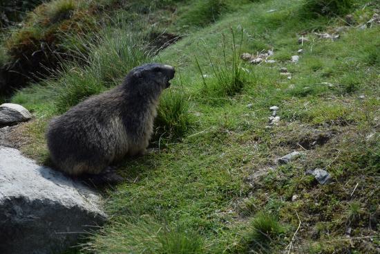 Kaltenbach, Austria: Rufendes Murmeltier